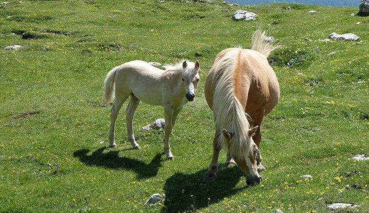 Cavalli aveglinesi in mostra a lana lana alto adige for Cavalli bolzano